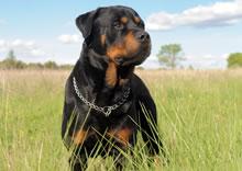 Conheça o Rottweiler