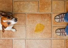 Como fazer um cachorro parar de marcar território