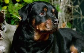 Beautiful-Rottweiler-rottweiler-13378967-1280-800