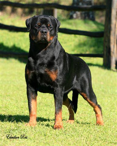 Rottweiler vs Kanári-szigeteki kutya vs Mallorcai masztiff – Melyik kutyafajta illik hozzád jobban?